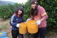 ゴールデンZクラブがみかんの収穫ボランティアを行いました