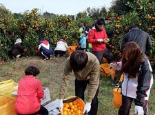 四国大学ゴールデンZクラブが勝浦町でミカン収穫ボランティアを行いました